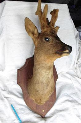 Taxidermy deer's head with antlers on wooden shield