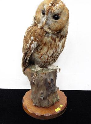 Taxidermy Owl on wooden stand