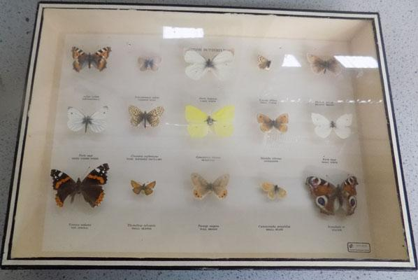 Boxed British butterfly display