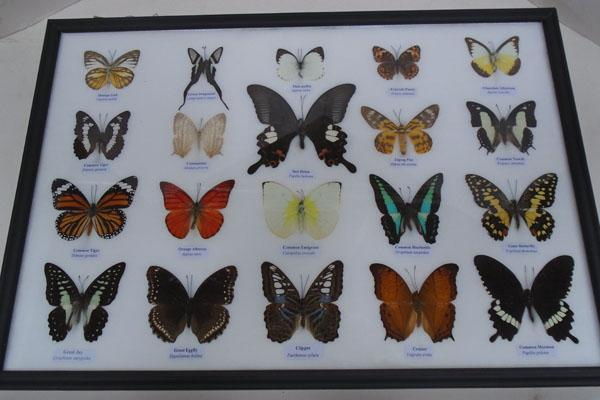 Large framed butterfly collection