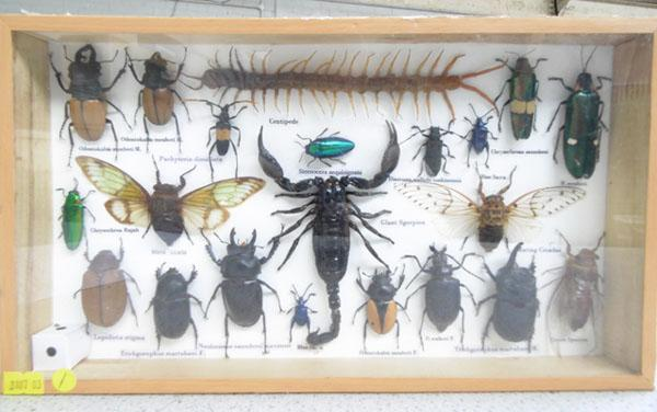Framed taxidermy of bugs