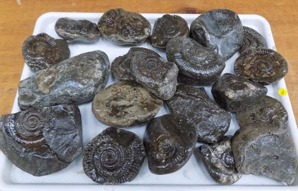 Tray of Whitby fossils