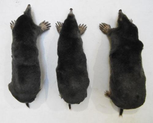 "3x Taxidermy moles 7""-71/4"""