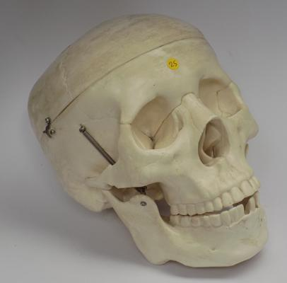 Skull with moving jaw & top of head comes off