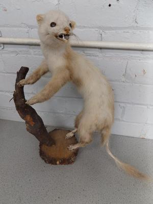 Taxidermy Pine Marten