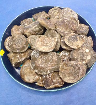 Tray of Whitby ammonite fossils