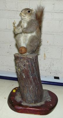 Taxidermy grey squirrel