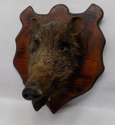 Mounted Wild Boar head
