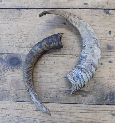 Pair of rams horns