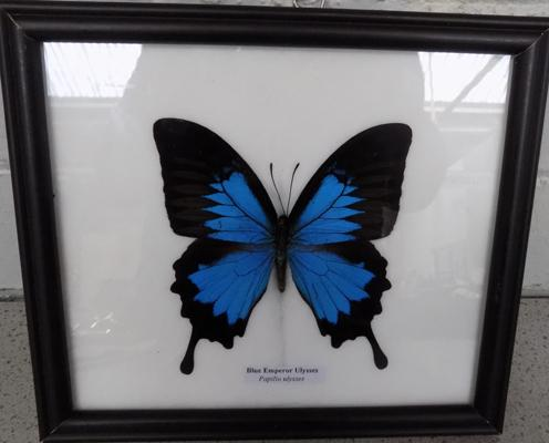 Taxidermy blue emperor butterfly