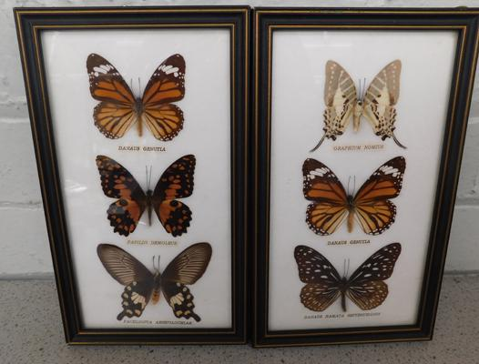 2x Cases of taxidermy moths