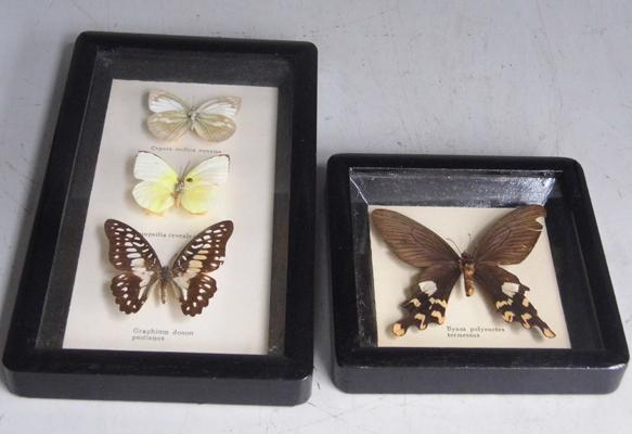 2x Framed taxidermy butterfly pictures